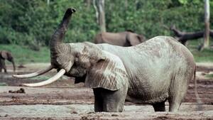 Ngà voi từ tàu đắm thế kỷ 16 tiết lộ bí ẩn về voi châu Phi