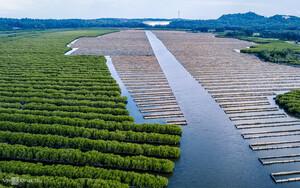 Quảng Ngãi: 'Xanh hóa' rừng ngập mặn