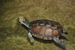 Loài rùa cực hiếm của Việt Nam đang đối mặt với nguy cơ tuyệt chủng