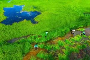 Bảo tồn giống lúa trời ở Vườn quốc gia Tràm Chim